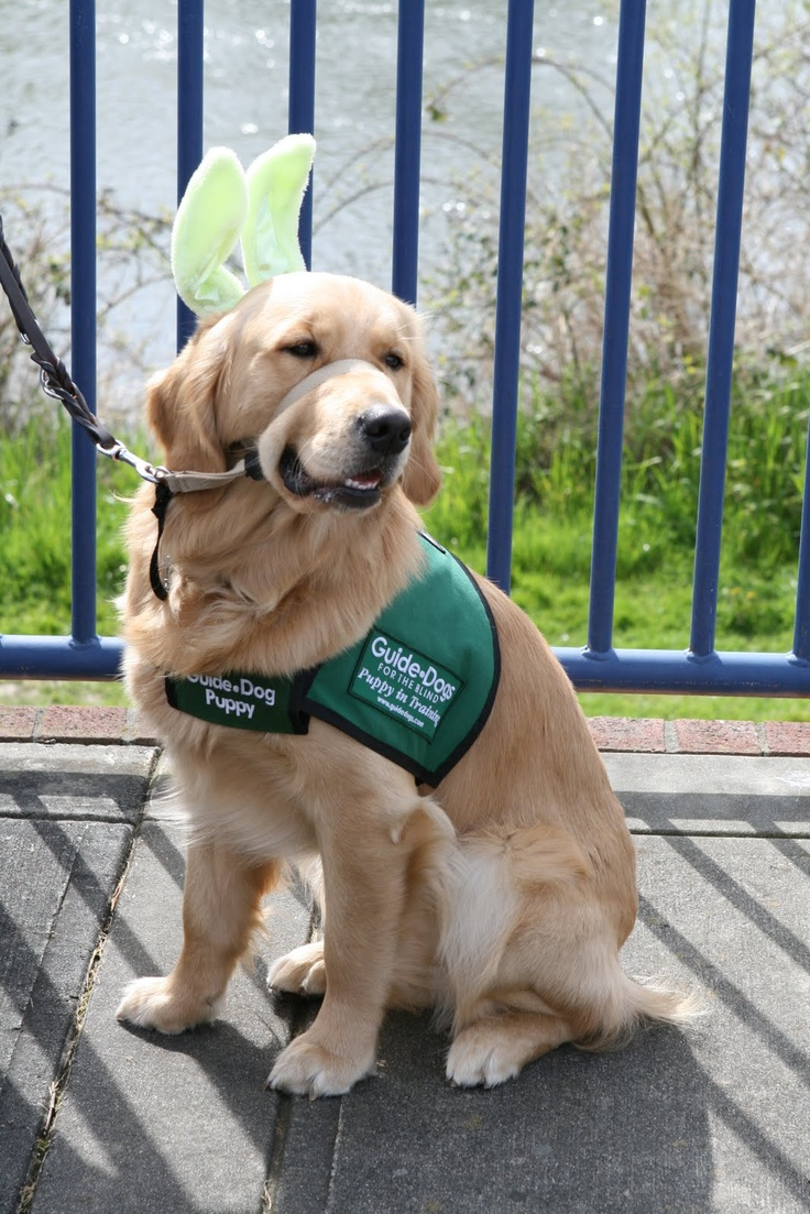 how were guide dogs made